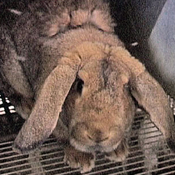 Rabbit at factory fur farm