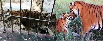 cancun tigers
